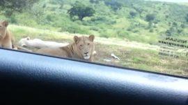 Un león causa pánico al abrir la puerta de un coche durante un safari