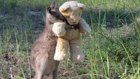 Conmovedor: Pequeño canguro huérfano se consuela abrazando un oso de peluche