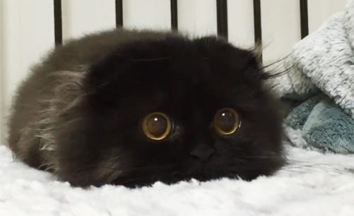 Gimo, el gato con ojos que parecen de peluche