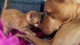 La tierna amistad entre un pitbull y una pequeña gatita