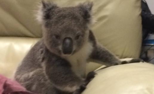 Mujer llega a su casa y encuentra un koala sentado en su sofá