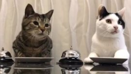 La curiosa forma de pedir comida dos gatos