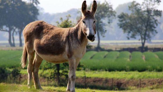 Sin mulas no habría country