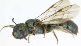 Las abejas casi se extinguen al mismo tiempo que los dinosaurios