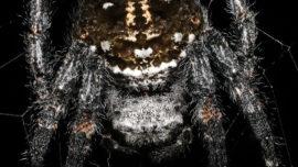 Descubren una araña que practica el sexo oral