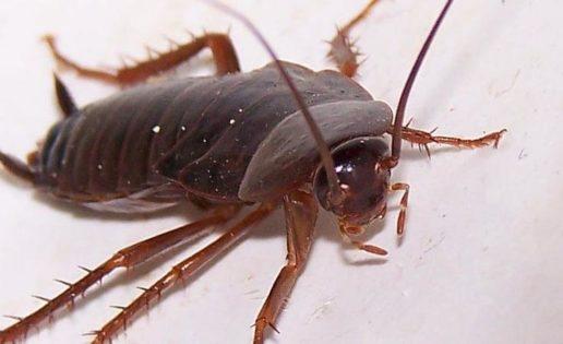 Las cucarachas se están volviendo invencibles, la pesadilla se convierte en realidad