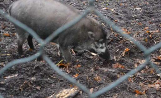 Observan, por primera vez, cerdos utilizando herramientas