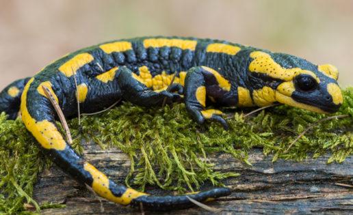 Descubren que los humanos tenemos «oculta» una capacidad de regeneración similar a la de las salamandras