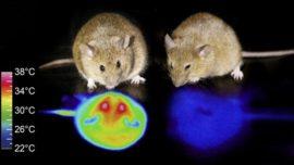 Más cerca de la hibernación humana: ya es posible conseguirlo en ratones