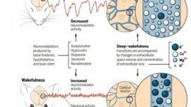 La cantidad de sales en el cerebro regula el sueño