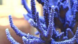 ¿Sabía que el coral se utiliza para tratar la dermatitis y la psoriasis?