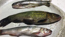 Don Fadrique y los peces de río