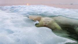 Este tierno oso polar bajo el hielo triunfa en los dos grandes premios de fotografía del año